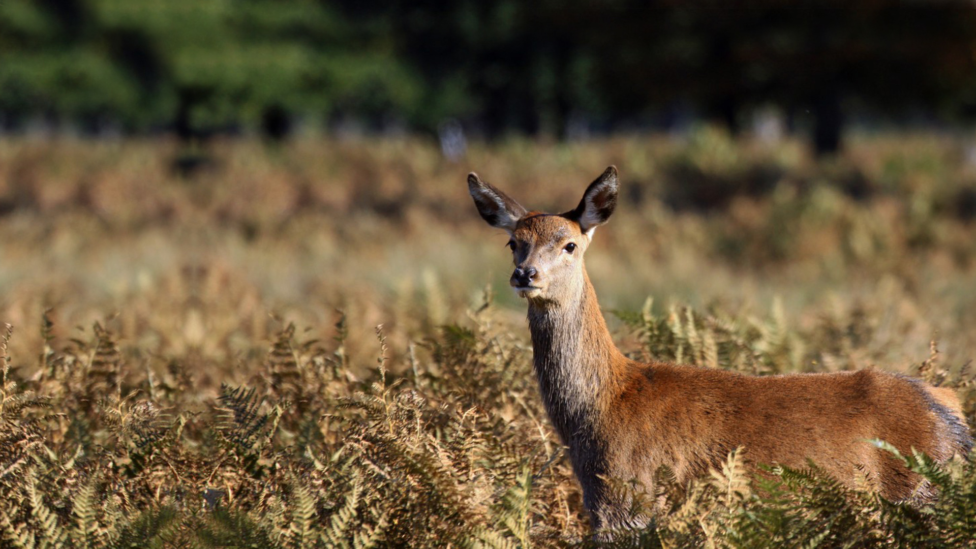 Deer in Warnham, West Sussex